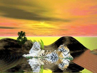 Encore des tigre blanc et roux