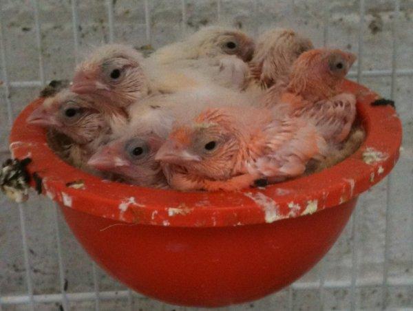Seven chicks one mum :)