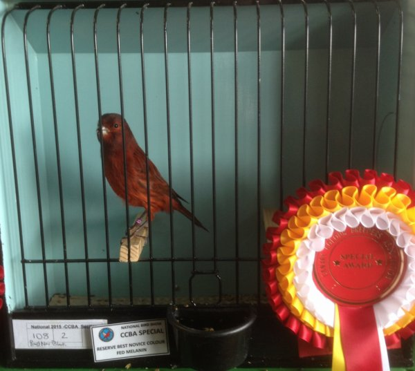 Intensive Red Black Cock - Reserve Novice Melanin National 2015.