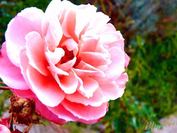 » Une rose, Dax.