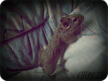 Le couple d'octodon ♥ Alvin et Chipette ♥