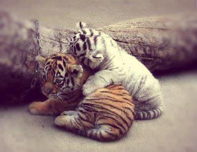 J'♥ les tigres =)