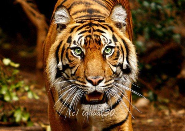 ღSauver les tigres on Louval30.sky' ©