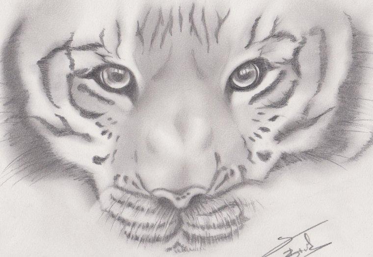 le portrait d'un tigre, pouquoi pas