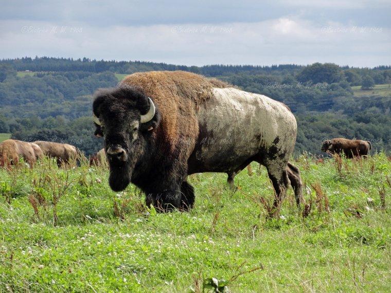 Bisons vu par Béa pour lorraineblog