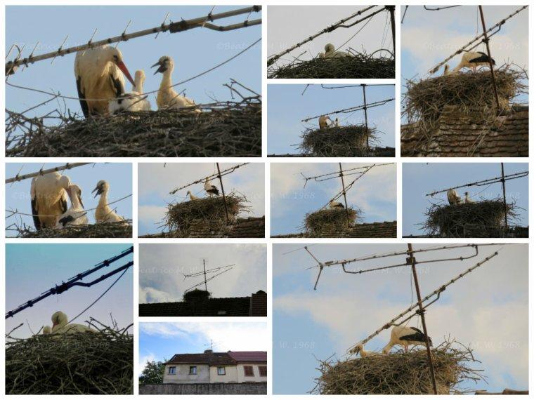 Cigognes à Sarralbe par Béa pour lorraineblog