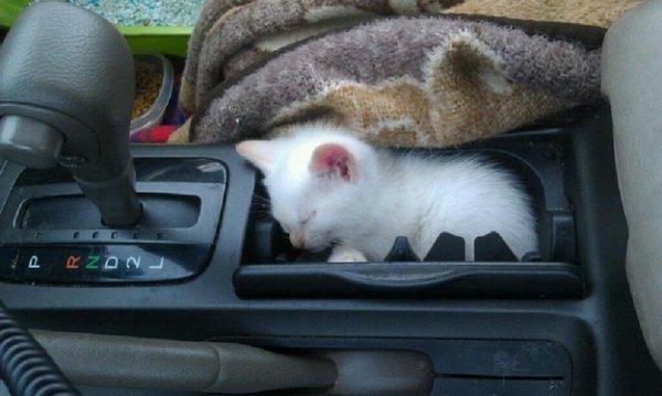 Un chaton bien habitué à être dans une voiture