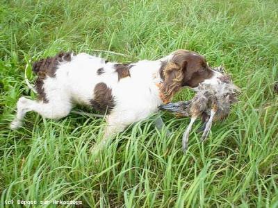 Bien connu Chien de chasse : l'EPAGNEUL BRETON - Amoureux des chiens YZ36