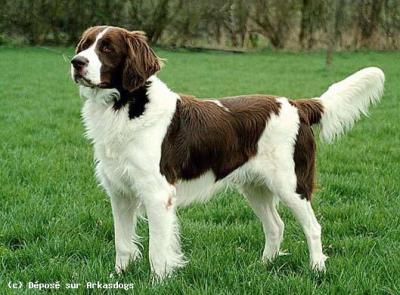 Häufig Les chiens de chasse : l' EPAGNEUL A PERDRIX DE DRENTE - Amoureux  CU18