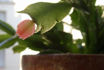 #Nature : prendre soin de son Cactus de Noël ou  Schlumbergera #Plantes #Jardiner #Hiver