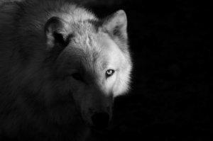 Conte Amérindien - le Loup sombre et le loup blanc