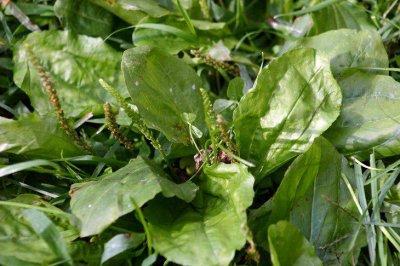 #Santé et #nature : les #bienfaits du #plantain