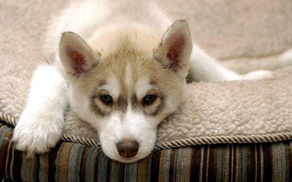 Petite parenthèse pour montrer 2 photos du Husky de mes rêves :D (kiff cette race !!!!)