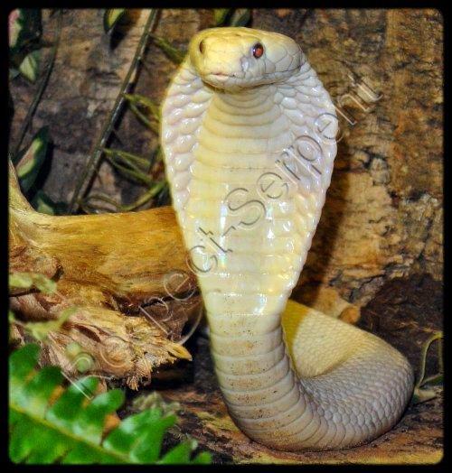 Mon Rêve ! ( Cobra )