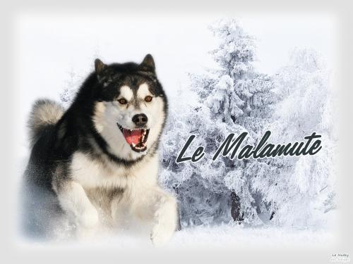Le Malamute