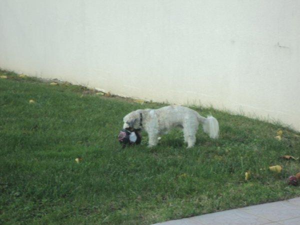 Mon chien qui joue dans son jardin