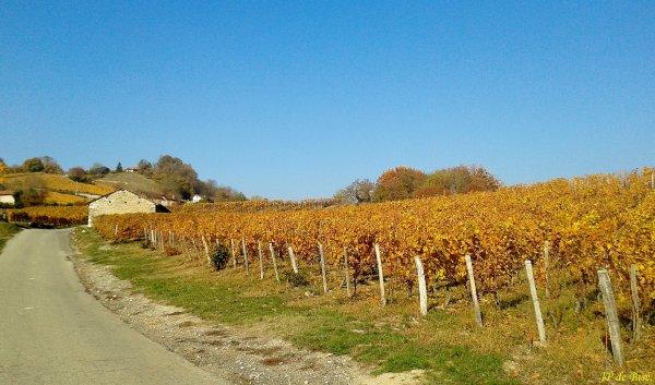 2018, le 18 novembre. Des feuilles d'or sur le vignoble d'Apremont.