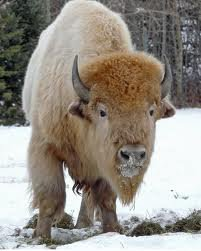 La naissance du Bison blanc