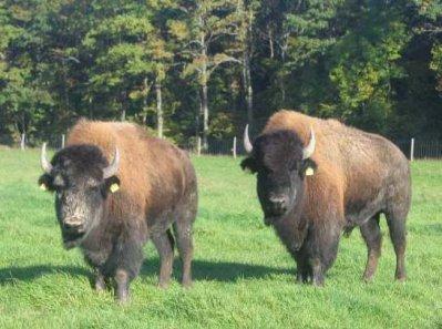 Le bison d 39 am rique du nord blog de twomoon017 - Coloriage bison d amerique ...