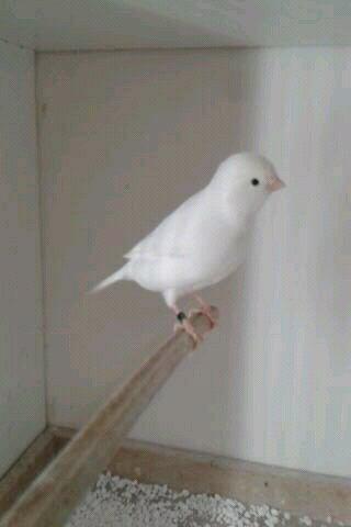 Witte kanarie!