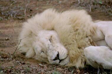 Un lion blanc.