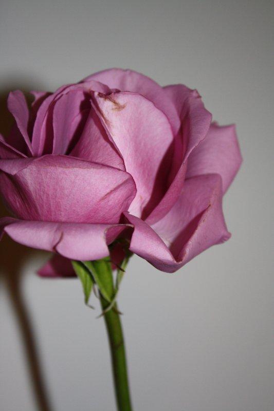 Ma maginifique rose prise en photo par moi-même ^^