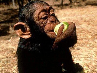 B b singe qui mange une pomme blog de dancingcloe - Que mange les punaises ...