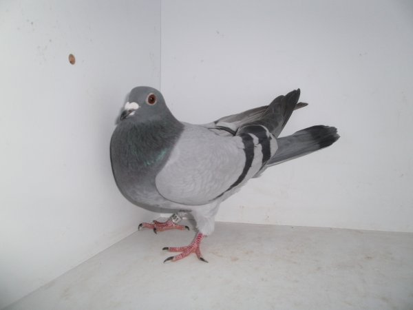 voila tous les pigeons sont vacsines les veufs  les jeunes et les femelles