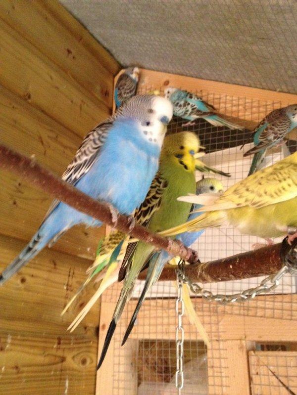 Voici quelques perruches ondulées.