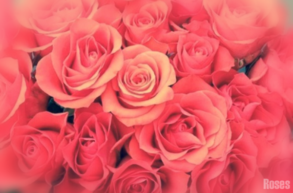 Roses rouges-