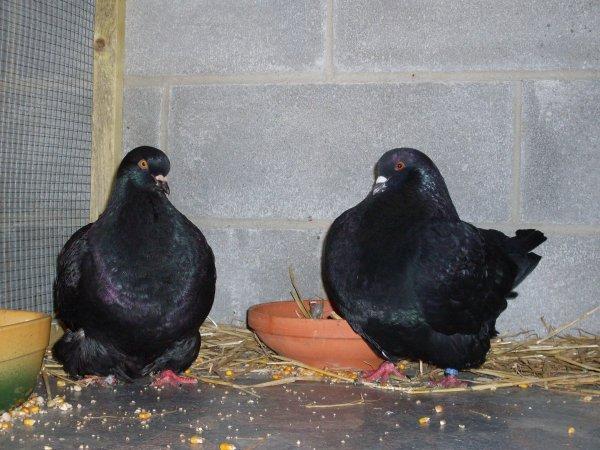 Blog de pigeonsmondain