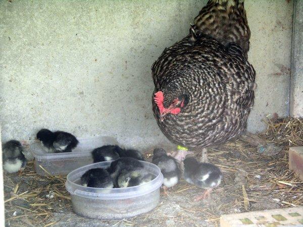 poule marans incubation