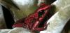grenouille-rouge-du-Yapa