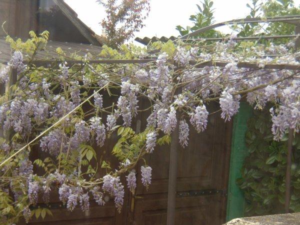 La glycine du jardin