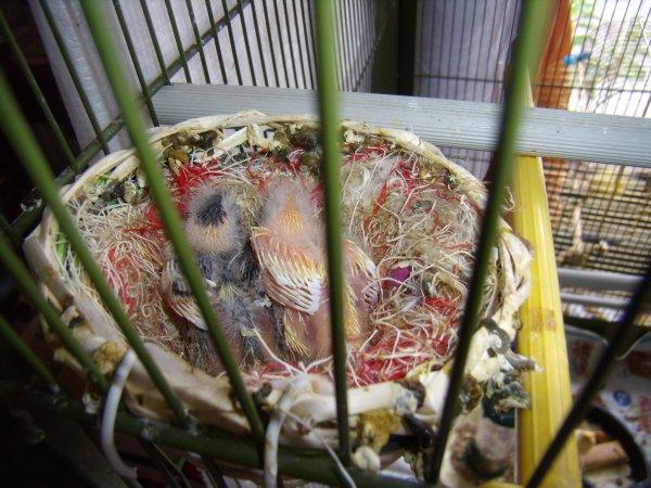 Mes bébés canaris