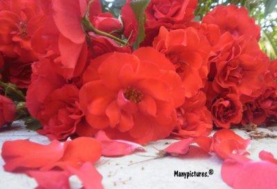 Les crocodiles vivent cent ans; les roses trois jours. Et pourtant, on offre des roses.
