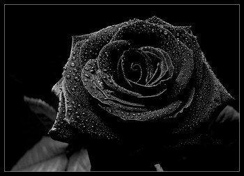 Rose noir -- Fiction