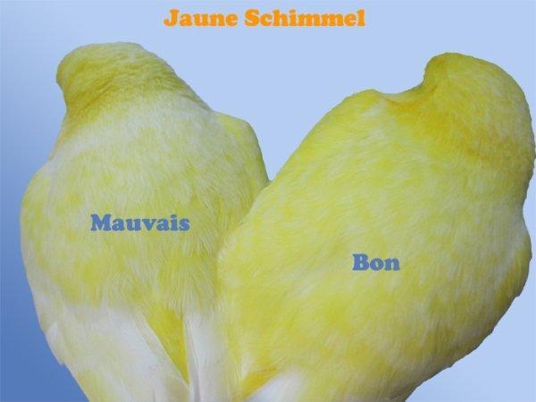 Différence de schimmel entre deux lipochromes jaunes. Il faut préférer un jaune schimmel dont l'écaillage est net, petit et uniformément réparti sur le plumage, comme le sujet de droite.