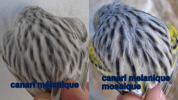 LA GENETIQUE DES CANARIS DE COULEUR