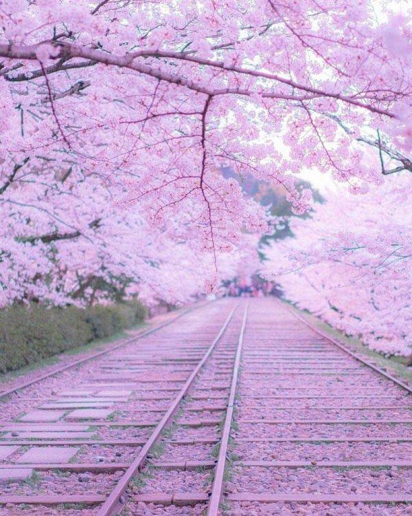 Cerisiers japonais (Japon)