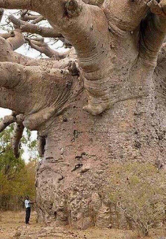 L'arbre le plus ancien de la Terre !!!