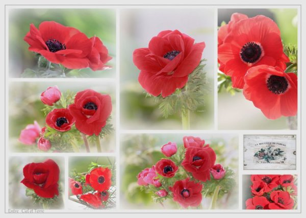 ... POPPIES ... OR NOT... ?