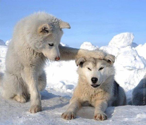 Les loups ça ce dispute même entre frère et soeur.😆