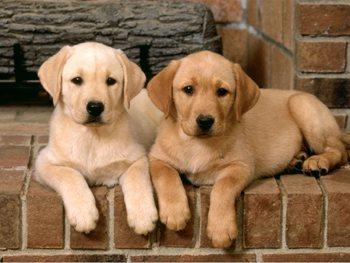 2 bebe labrador beige - ba c 1 blog ki represente mé pote,mé kopine ...