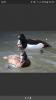 Rechercher canard de chasse