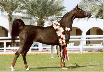 cheval arabe show