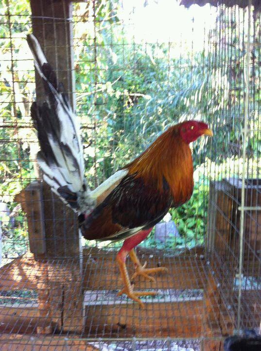 Coq dun ami de Miami