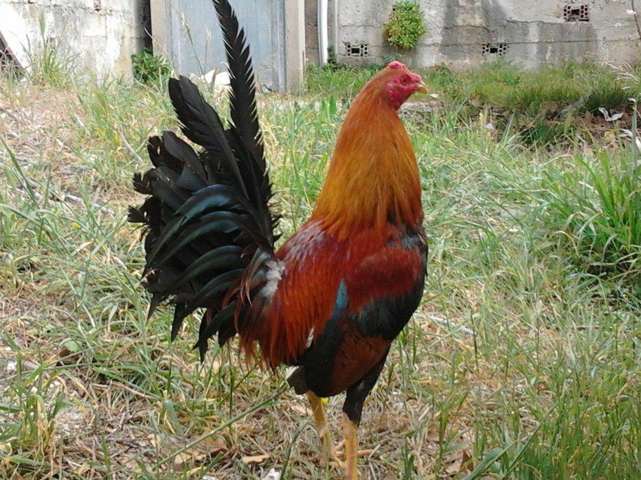 gallos de pelea el manu rodriguez83