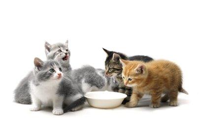 Comment nourrir un chaton