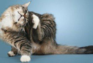 Puces du chat : comment les repérer et les éliminer ?